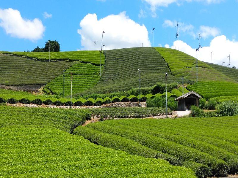 (小学生向け自然学習イベント)緑の里山 和束町でお茶づくり体験 ~おいしいお茶ができるまで~