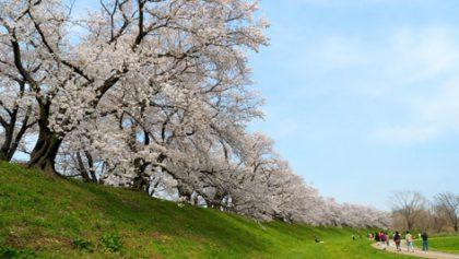 旅の星 Tabinohoshi 「背割堤桜と春の八幡」 Yawata, Japan vol.54